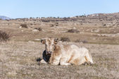 Cow lying in the field. — Stock Photo