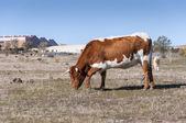 Vacas pastando no campo — Foto Stock