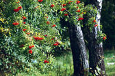 Ash tree with berries and stems of birches — Stock Photo