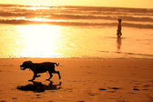Silhouettes of running dog and a man on the beach during sunset — Stock Photo