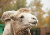 Close up photo of camel head in the zoo — Stock Photo