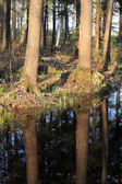 Pines with reflection — Stock Photo