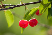 Red cherries on a tree branch — Stock Photo