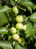Green apples on a branch in garden — Stock Photo