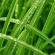 Morning dew on leaves of grass - Stock Photo