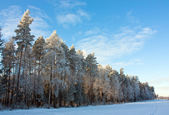 Conifer trees covered with snow — Stock Photo