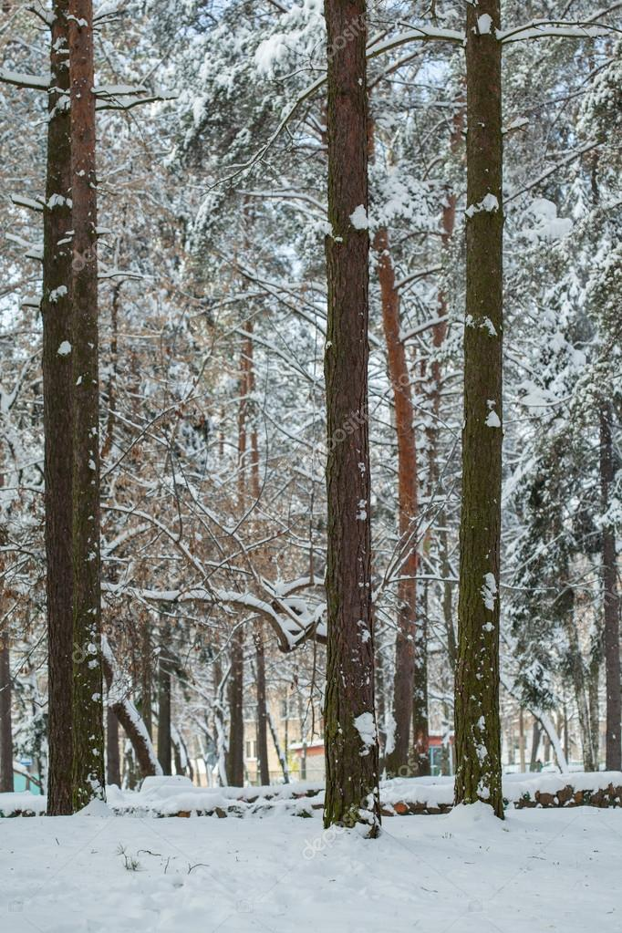 Trees with snow in winter park — Stock Photo #14827967