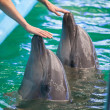 Two  human hands touching dolphins — Stock Photo