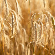 Ripe wheat in a field — Stock Photo