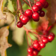 Red berries of arrowwood - Stock Photo