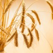 Closeup of golden wheat - Stock Photo