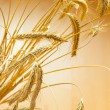 Closeup of golden spica of wheat - Stock Photo