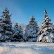 Spruce covered with snow - Stock Photo