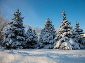 Spruce covered with snow — Foto Stock
