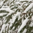 ������, ������: Firs covered with snow