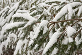 Firs covered with snow — Foto Stock