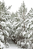 Firs covered with snow — Stock Photo