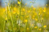 Buttercup květiny — Stock fotografie