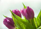 букет красивых фиолетовые тюльпаны — Стоковое фото