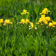 Flowerbed of yellow irises - Stock Photo