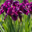 Flowerbed of purple irises - Stock Photo