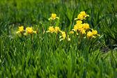 Flowerbed of yellow irises — Stock Photo