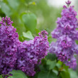 Purple lilac (Syringa) — Stock Photo #25940391