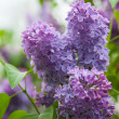 Purple lilac (Syringa) — Stock Photo
