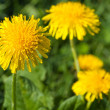 Yellow summer dandelions — Stock Photo