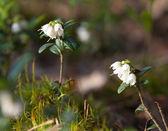 Blossoming cowberry (Vaccinium vitisidaea) — Stock Photo