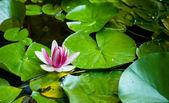 水中百合鲜花 — 图库照片