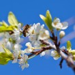 Bee on spring apple blossom — Stock Photo