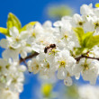 Bee on spring apple blossom — Stock fotografie