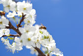Bee on blossoming apple tree — Stock Photo