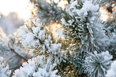 La rama de pino — Foto de Stock