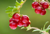 Ripe berries of cowberries in the forest — Stock Photo