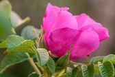 Flor rosa em um jardim de verão — Foto Stock
