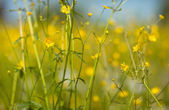 Buttercup flowers — Stock Photo