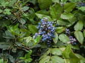 Blue berries — Stock Photo