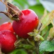 Ripe rosehip berries — Stock Photo #34514249