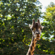 Giraffe among green trees — Stock Photo