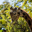 Giraffe eating leaves — Stock Photo