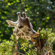 Giraffes eating leaves — Stock Photo