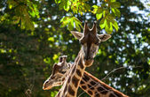 Cute giraffes among green trees — Stock Photo