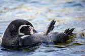 Swimming otter — Stock Photo