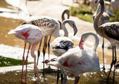 Pink flamingoes drinking water — Stock Photo
