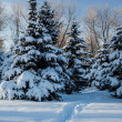 Conifer trees covered with snow — Stok fotoğraf