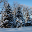 Spruce covered with snow — Stock Photo #36662611