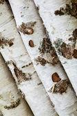 Birch logs — Stock Photo