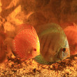 Five colorful discus - Stock Photo